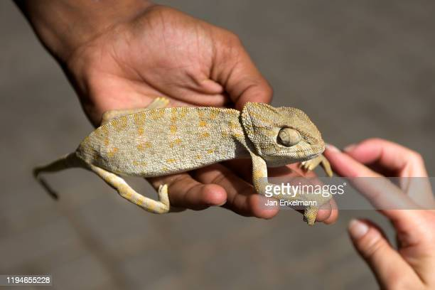 chameleon - exotic pets stock pictures, royalty-free photos & images