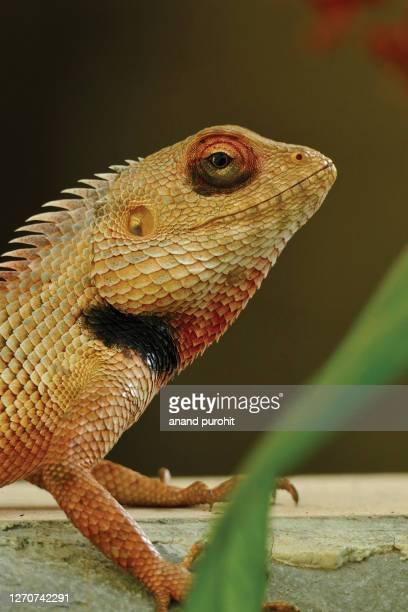 chameleon - rettile foto e immagini stock