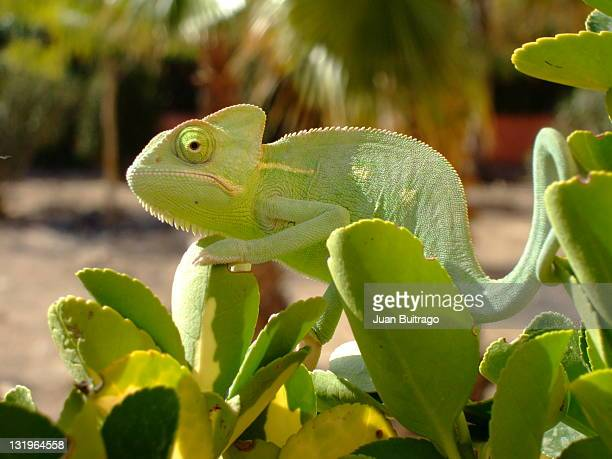 chameleon - chameleon stock photos and pictures