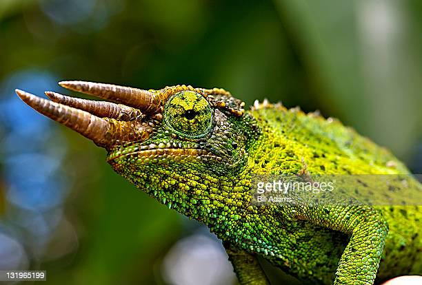 Jackson S Chameleon Stock Pictures Royalty Free Photos Images