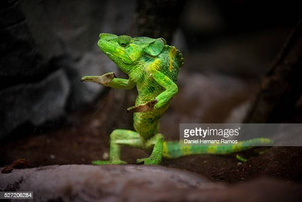chameleon - reptile stock pictures, royalty-free photos & images