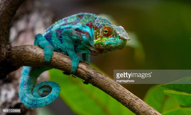 chameleon - animal costume stock pictures, royalty-free photos & images