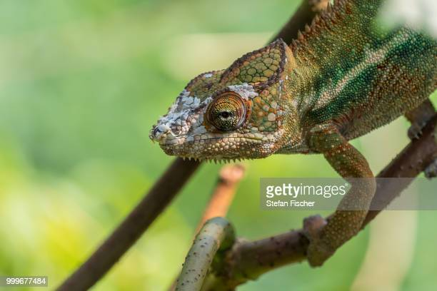 Fischers chameleon stock photos and pictures getty images chameleon thecheapjerseys Images