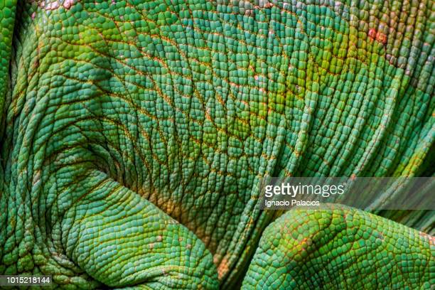 chameleon portrait, madagascar - east african chameleon stock pictures, royalty-free photos & images