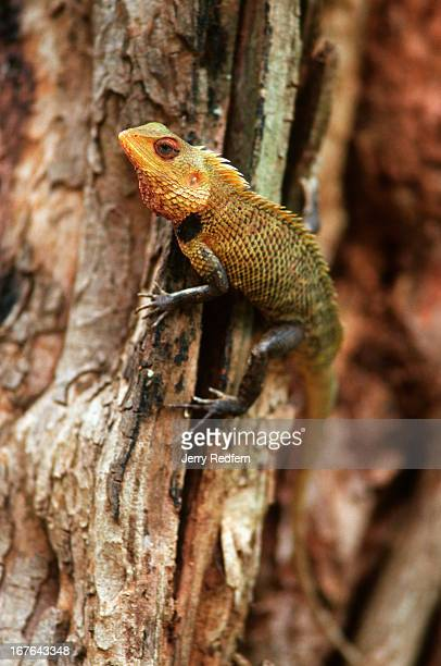 A chameleon scales a tree in Mihintale National Park Buddhism originated in Sri Lanka in Mihintale in 247 BC when King Devanampiya Tissa on a hunting...