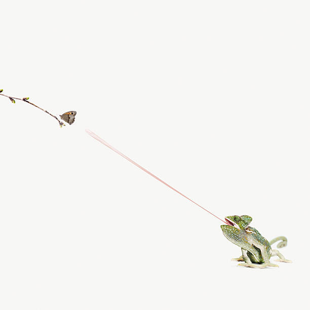 Chameleon Sticking Out Tongue To Catch Butterfly Wall Art