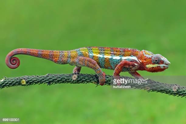 Chameleon walking on branch, Indonesia