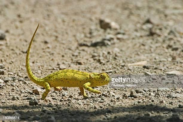 Chameleon (Chamaeleonidae) walking over dry earth, Chobe National Park, Botswana, Africa
