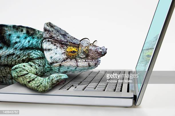 Chameleon wearing spectacles with laptop computer