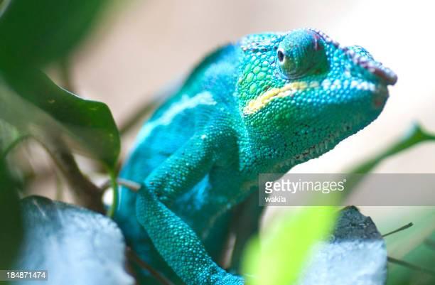 chameleon with blue skin
