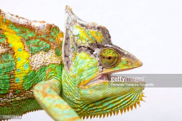 chameleon with open mouth - カメレオン ストックフォトと画像