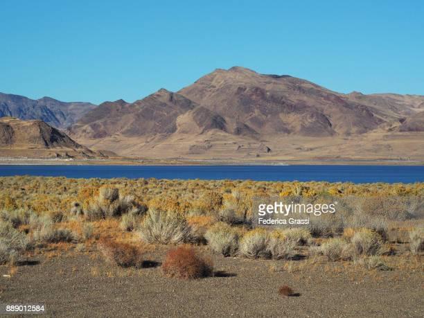 Chamisa Wild Flowers at Pyramid Lake, Nevada