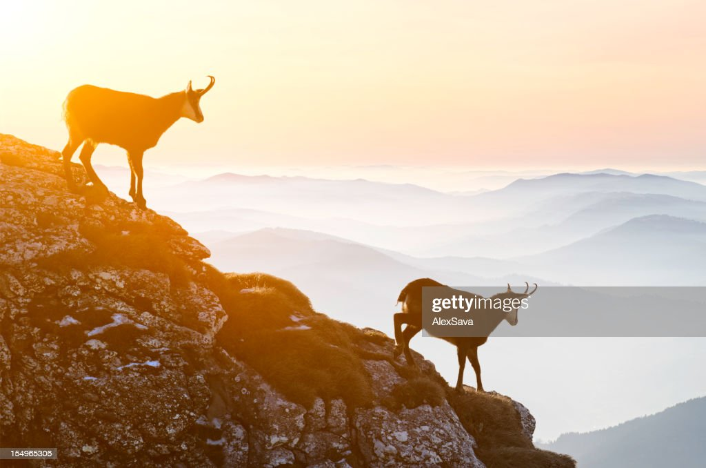 Chamois descending rocky cliffs : Stock Photo