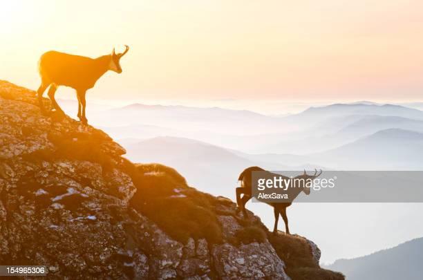 Chamois descending rocky cliffs