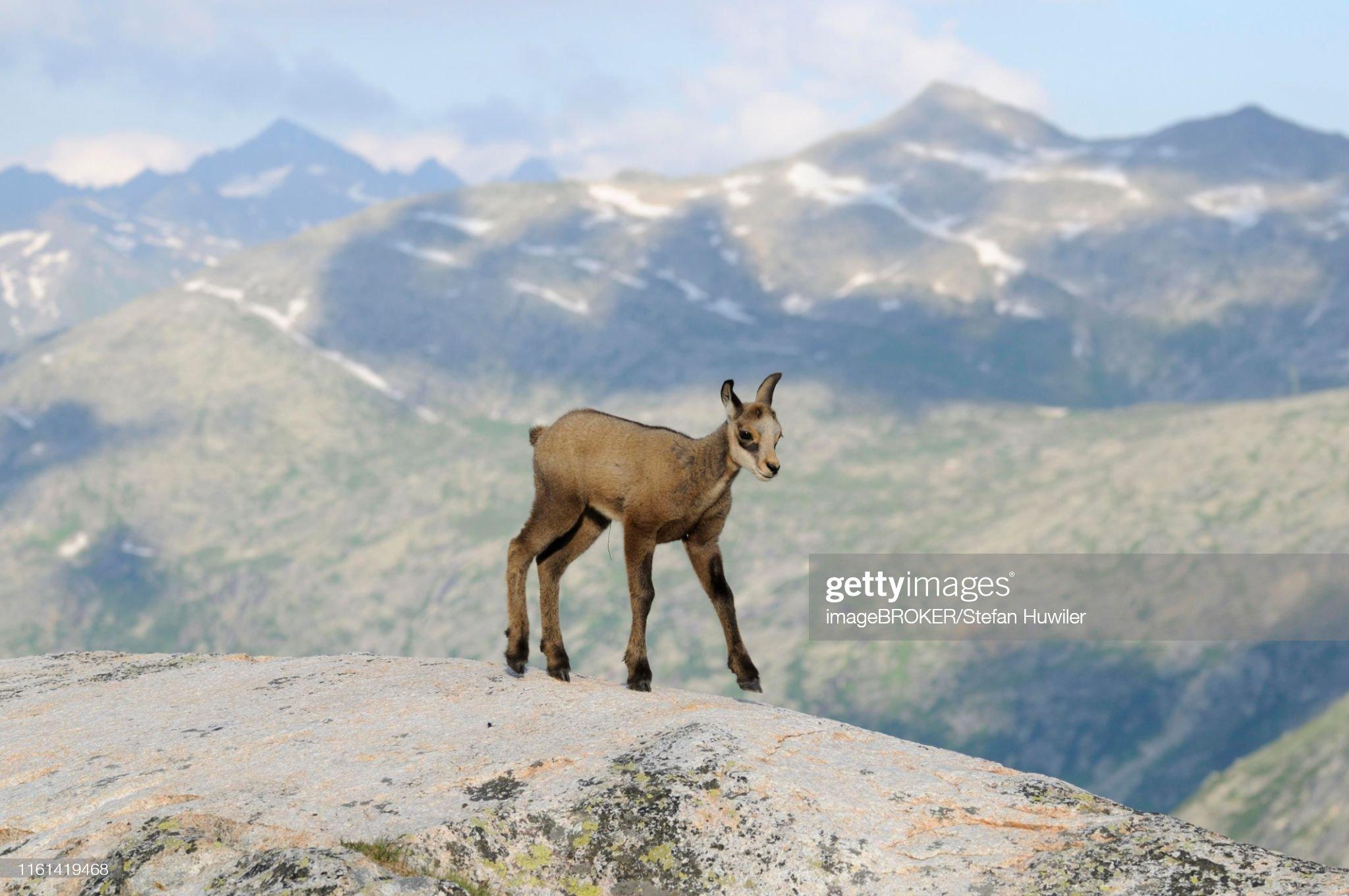 Chamois fawn (Rupicapra rupicapra) against the Bernese Alps, Switzerland : Stockfoto
