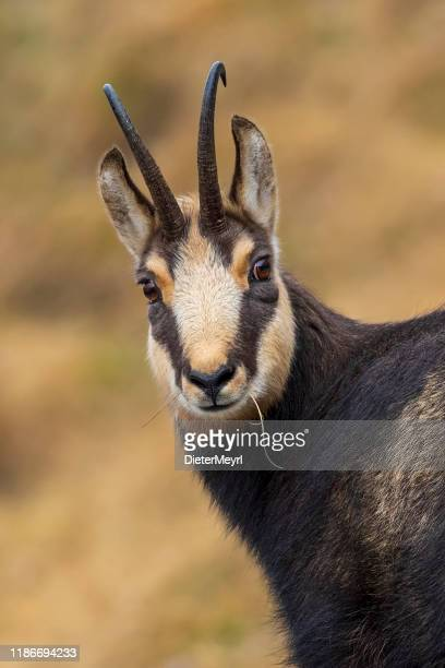 chamois goat looking at camera, alps (rupicapra rupicapra) - berchtesgaden stock pictures, royalty-free photos & images