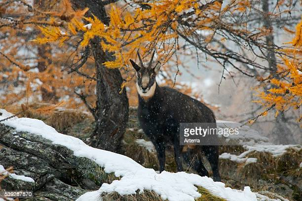 Chamois in larch forest in the snow in autumn Gran Paradiso National Park Italy
