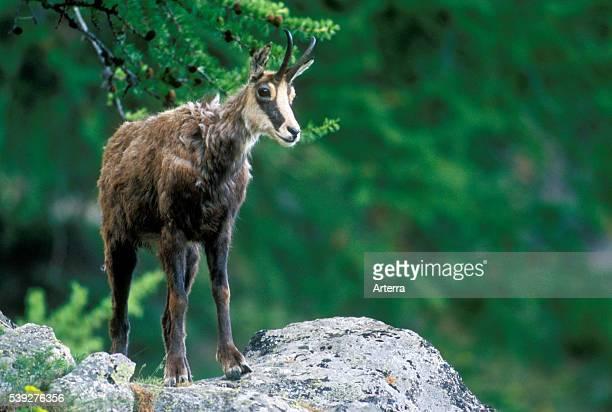 Chamois in summer Gran Paradiso National Park Italian Alps Italy