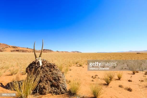 Chamois skull on a stone in the desert, Hartmann Valley, Kunene region, Namibia