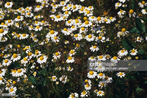 Chamomile Asteraceae