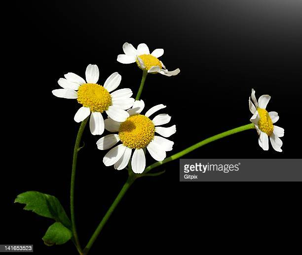 chamomile blossoms - chamomile plant stock pictures, royalty-free photos & images