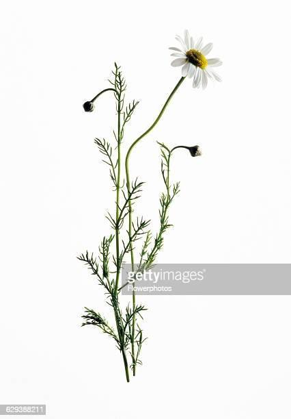 Chamomile Chamaemelum nobile