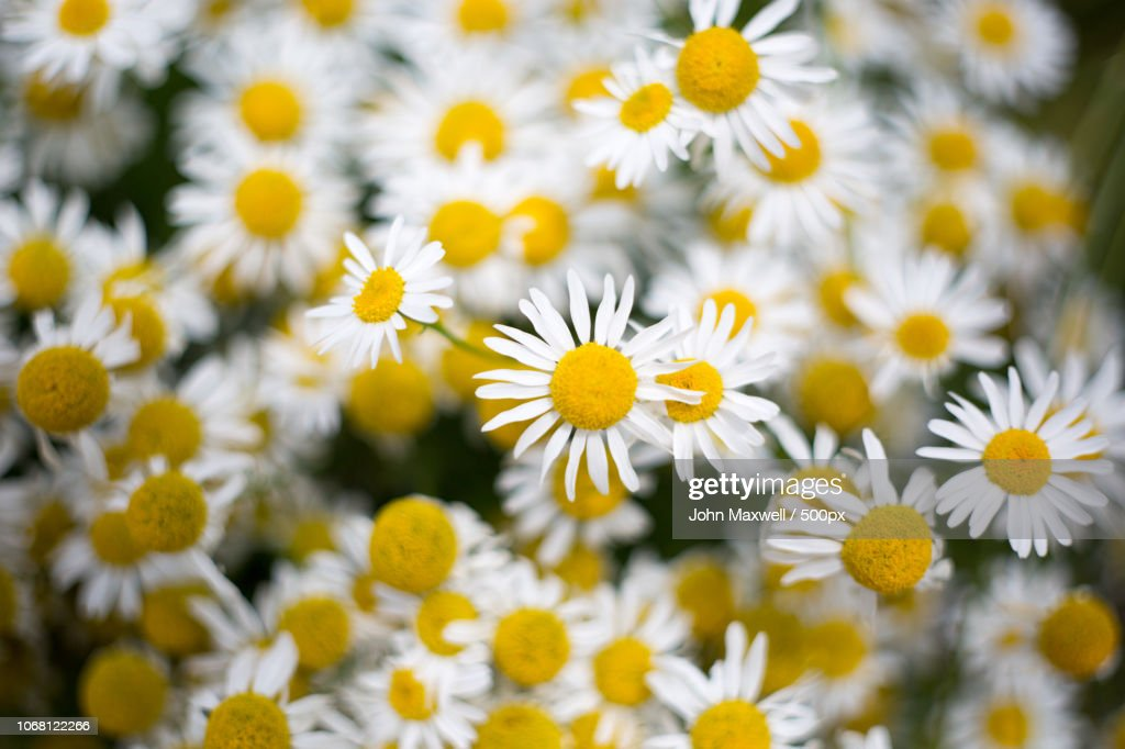 Chamomile close up : Stock Photo