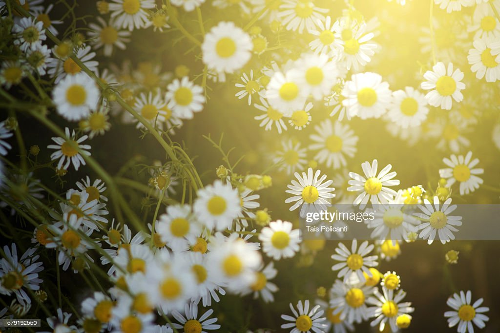 Chamomile field at sunset in Bavaria, Germany : Stock Photo