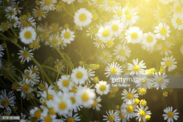 Chamomile field at sunset in Bavaria, Germany