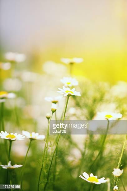 Kamille field
