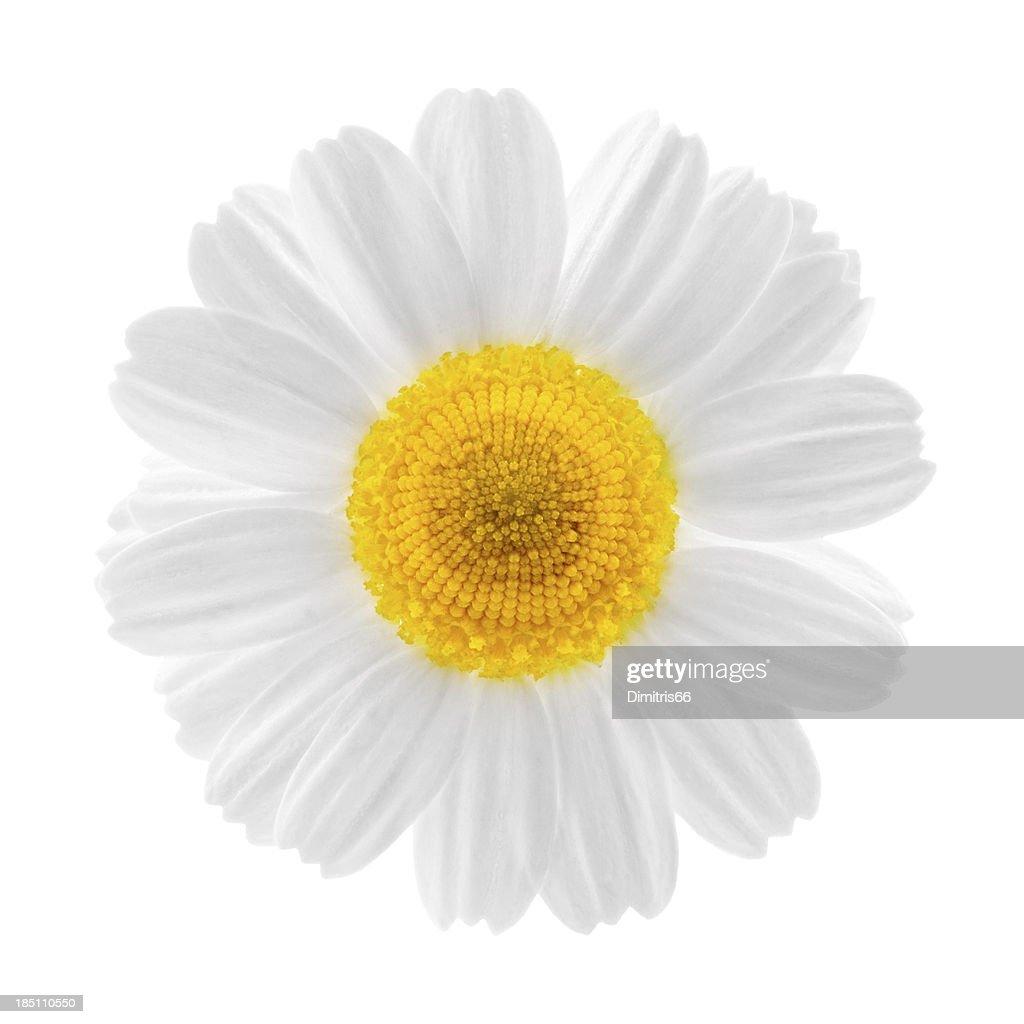 Chamomile flower close up : Stock Photo