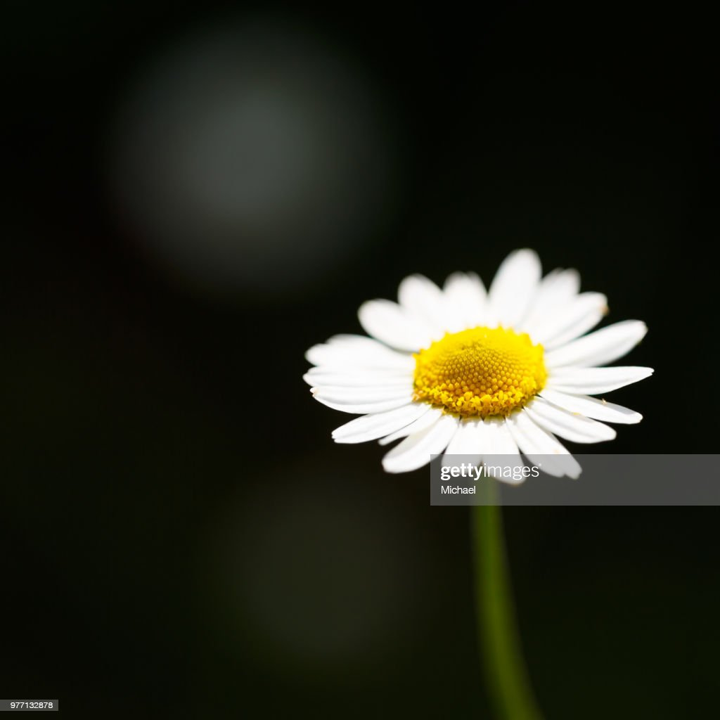 Chamomile (chamaemelum nobile) flower, Glasgow, Scotland : Stock Photo