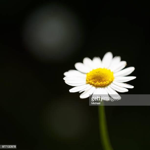 chamomile (chamaemelum nobile) flower, glasgow, scotland - chamomile tea stock photos and pictures