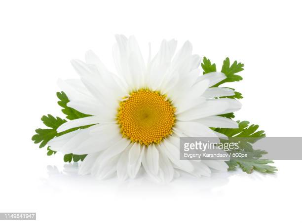 chamomile flower with leaves - chamomile tea stock photos and pictures