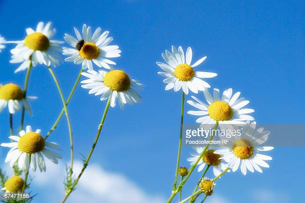 chamomile flowers against blue sky - chamomile tea stock photos and pictures