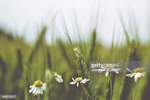 Chamomile Flowers Growing On Field