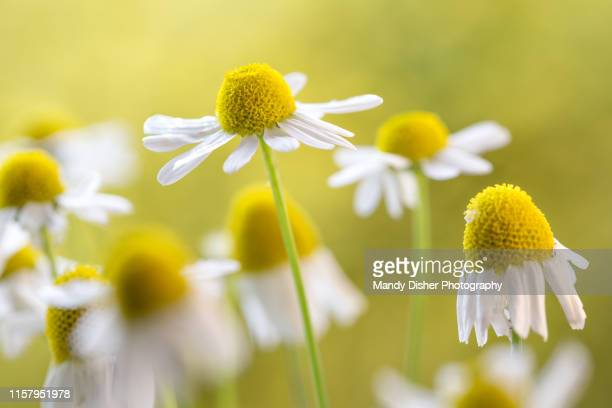 chamomile flowers - chamomile tea stock photos and pictures