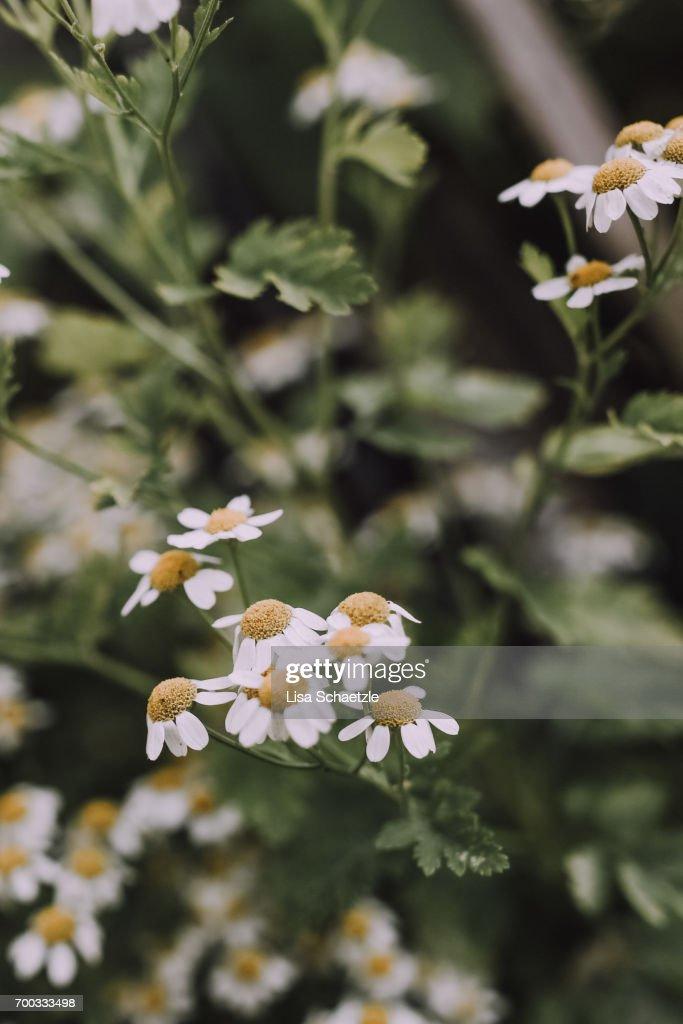 Chamomile Flowers : Stock Photo