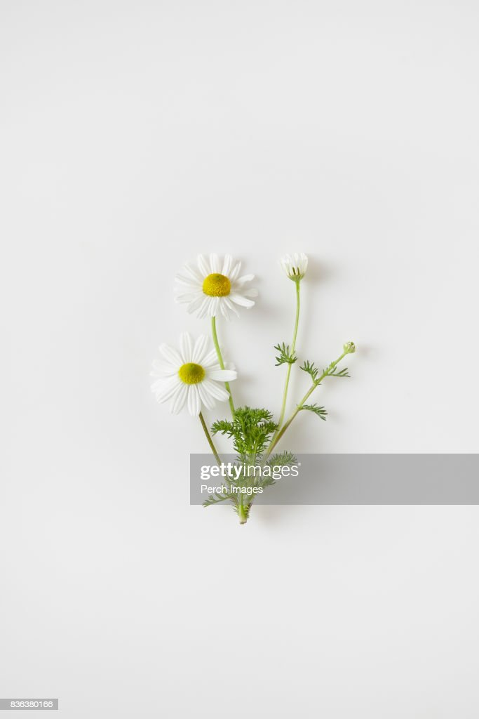 chamomile flowers : Stock Photo