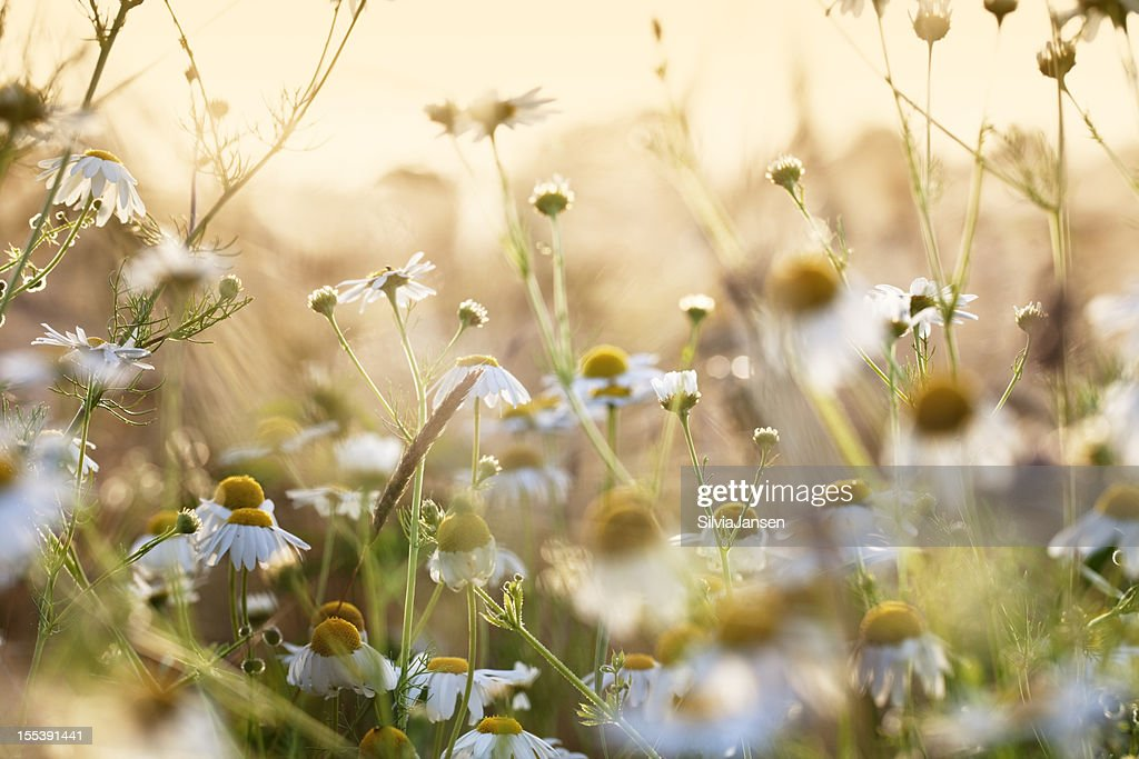 chamomile herb in wheat field : Stock Photo