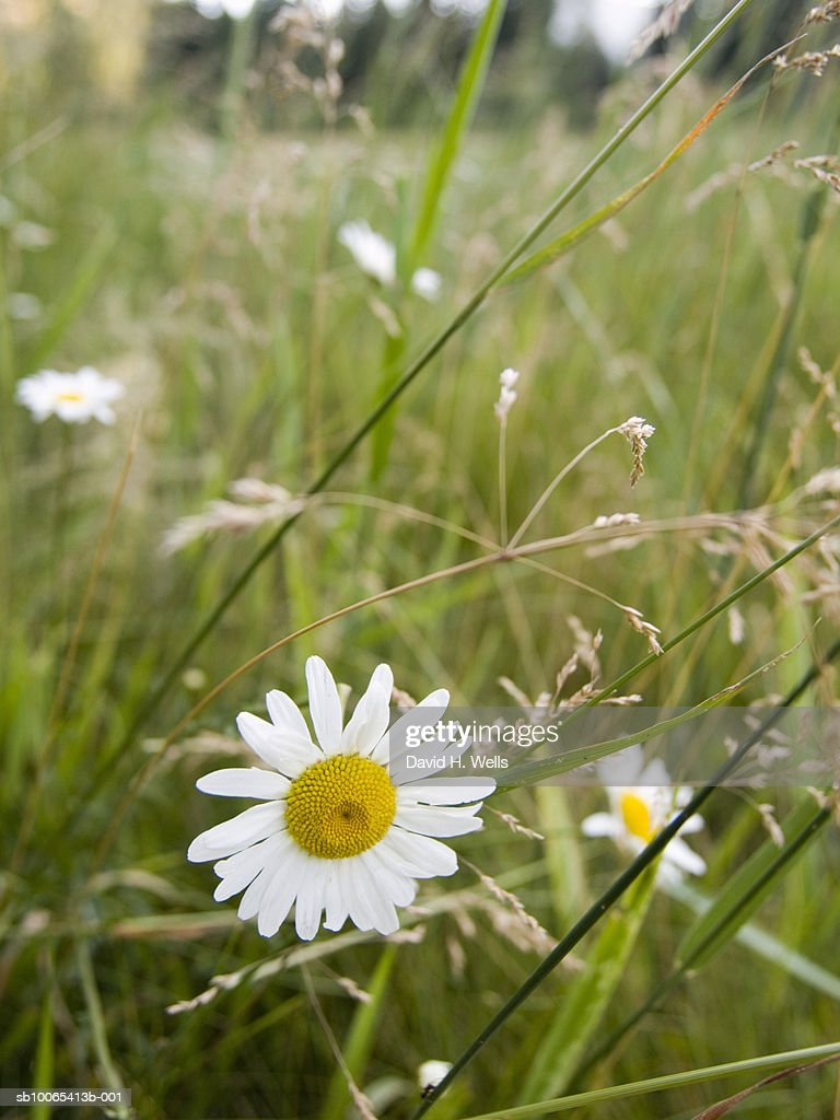 Chamomile on meadow : Foto stock