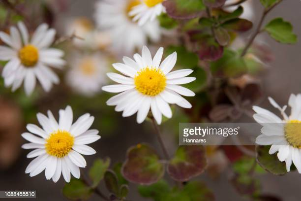 chamomile - chamomile tea stock pictures, royalty-free photos & images