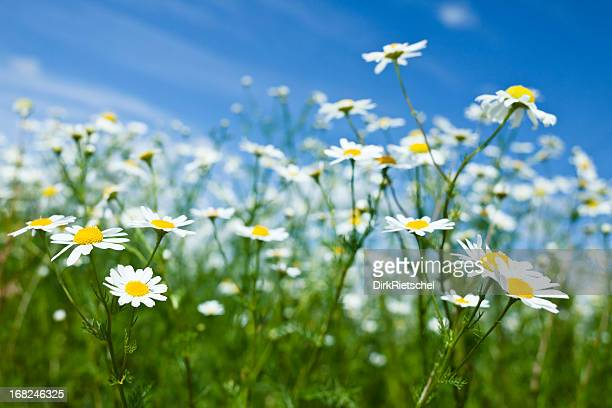 chamomile. - chamomile tea stock photos and pictures