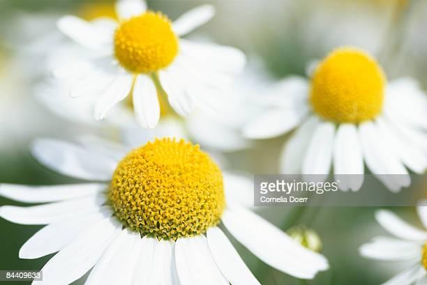 chamomile (chamaemelum nobile) portrait of flowers - chamomile tea stock photos and pictures