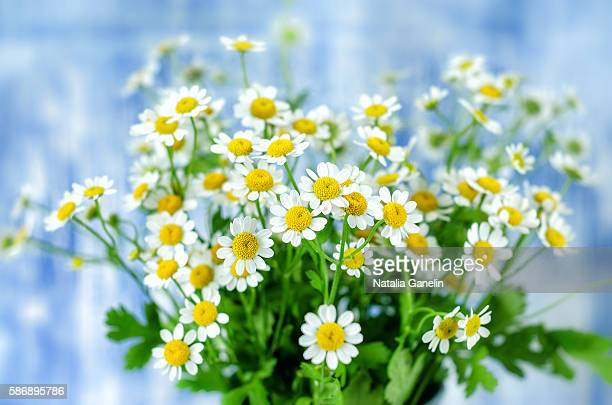 chamomiles on blue background - chamomile tea stock photos and pictures