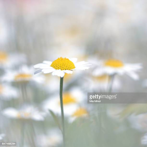 chamomiles - chamomile tea stock photos and pictures