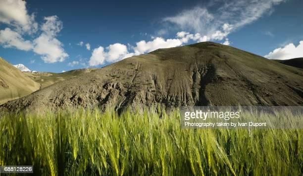 Champ de blé dans l'Himalaya indien