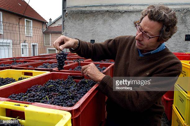 Champagne producer Herve Le Gallais examines grapes at the Chateau de Boursault in the village of Boursault near Epernay in eastern France on Friday...