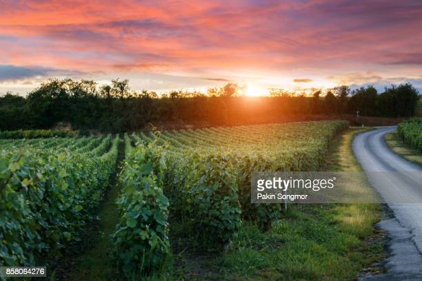 champagne vineyards at sunset montagne de reims, france - aquitaine stock photos and pictures