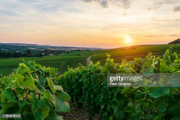 champagne vineyards at the hunter valley wine region - nova gales do sul - fotografias e filmes do acervo
